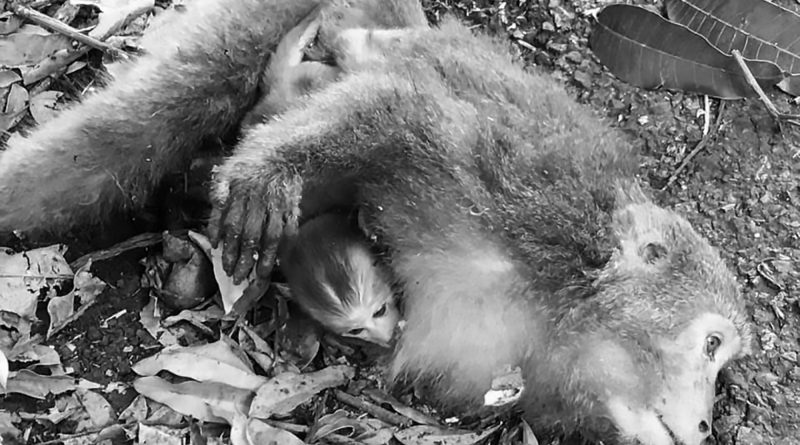 Macaco si ferisce mentre cerca cibo, la reazione del suo piccolo è commovente